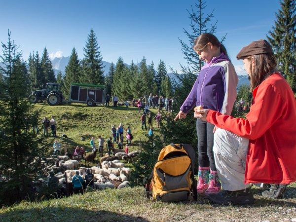 © Kraft | Veranstaltungen im Herbst im Gosautal: Schaftag auf der Iglmoosalm in Gosau bei einem Urlaub in der UNESCO Welterberegion Hallstatt Dachstein Salzkammergut in Österreich.